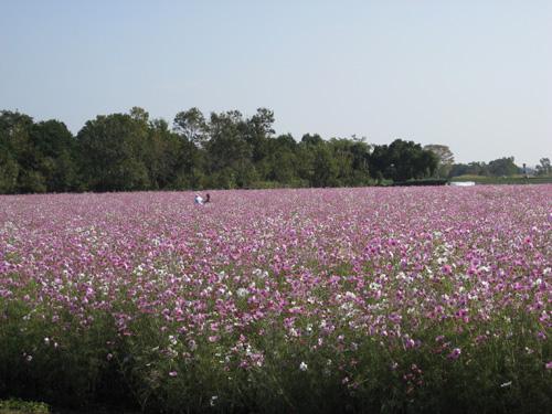 西都原7へクタール300万本のコスモス